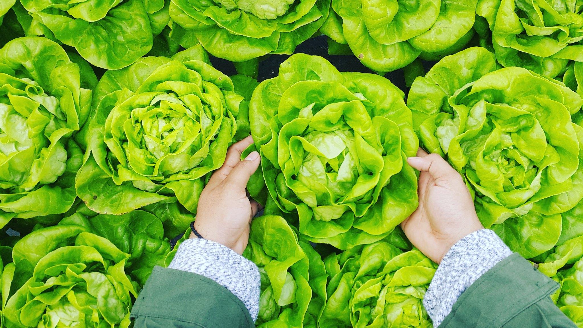 hands holding lettuce